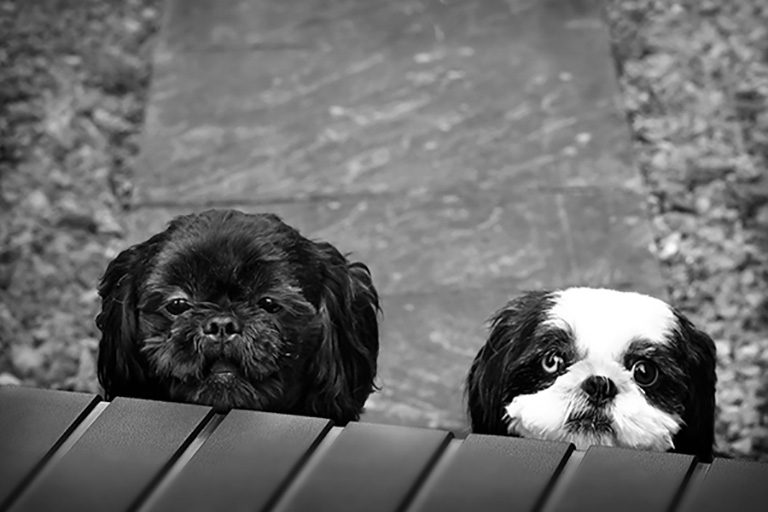 two shih-tzu dogs peaking over box